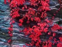 Wild grapes on a rock colorful leaves Stock Photo