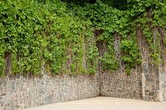 Wild grapes on  stone wall Stock Photos