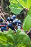 Wild grapes Royalty Free Stock Photo