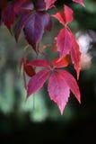 Wild grapevine liana branch Royalty Free Stock Image