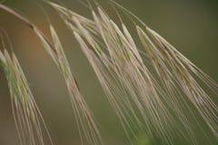 Wild gras   Stock Afbeeldingen