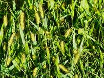 Wild gras in de heldere Zon stock afbeelding