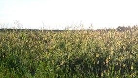 Wild grasgebied bij zonsondergang stock footage