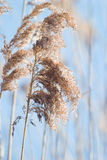 Wild grass. Wild flower of brown grass in autumn afternoon sun royalty free stock images