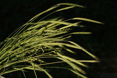 Wild grass. Lighted stock photos