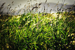 Wild Grass Royalty Free Stock Photo