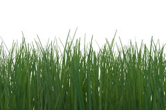 Wild Grass. Close-up of green grass on white background. Computer generated image Royalty Free Stock Photography