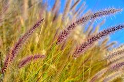 Wild grass. Wild desert grass in the sun light Stock Photography