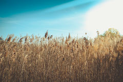 Wild Grass anad Blue Sky royalty free stock photography