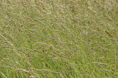 Wild grass background Royalty Free Stock Image