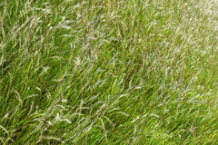 Wild Grass Background Royalty Free Stock Photo