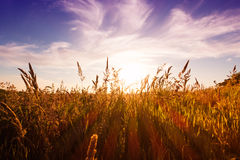 Wild grass Royalty Free Stock Photography
