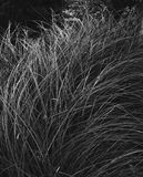 Wild Grass In Black and White. Ornamental Wild Grass In Black and White tall in black and white Royalty Free Stock Image