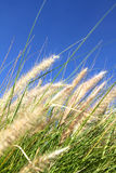 Wild grass on the blue Sky. Some natural, blooming grass against the blue sky Royalty Free Stock Photo