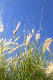 Wild grass on the blue Sky. Some natural, blooming grass against the blue sky Stock Photos