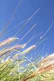Wild grass on the blue Sky. Some natural, blooming grass against the blue sky Royalty Free Stock Images