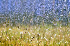 Wild grass on bokeh background Royalty Free Stock Images