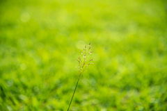 Wild grass in bright sunrise counterlight Royalty Free Stock Photo