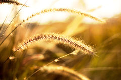 Wild grass Stock Images