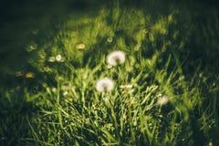 Wild grass. Dandelion wild meadow bokeh nature grass stock photos