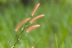 Wild grass detail Royalty Free Stock Photography
