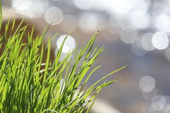 Wild grass with diffuse reflection Stock Image