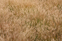 Wild grass field Royalty Free Stock Image