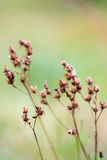 Wild grass-field plant Royalty Free Stock Images