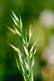 Wild grass-field plant Royalty Free Stock Photo