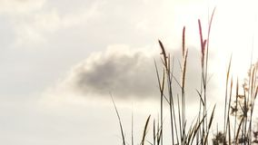Wild grass flower blossom with wind blowing against grey sky white fluffy clouds. Green nature background stock photo
