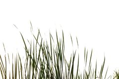 Wild grass flower growing in a field on white isolated. For green foliage backdrop stock photography