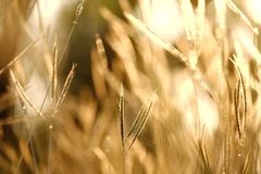 Wild grass flower growing in a garden. Silhouette sunlight background royalty free stock photo