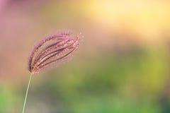 Wild grass flower Stock Image