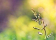 Wild grass flower Stock Photography