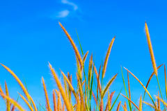 Wild grass flowers in blue sky. Background Stock Photo