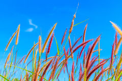 Wild grass flowers in blue sky. Background Stock Photos