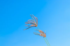 Wild grass flowers in blue sky. Background Stock Photography