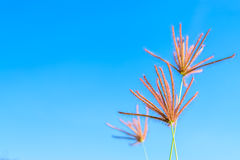 Wild grass flowers in blue sky. Background Royalty Free Stock Images
