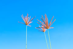 Wild grass flowers in blue sky. Background Stock Image