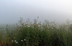 Wild grass in the fog Royalty Free Stock Photo