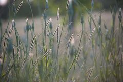 Wild grass, foxtails and dandelions in a meadow stock photography