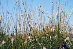 Wild grass, green blades and yellow and white seed Royalty Free Stock Images