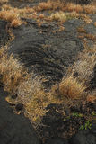 Wild grass grows from lava flows in Hawaii Royalty Free Stock Image