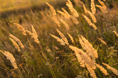 Wild grass in the meadow. On sunset Stock Photography