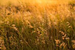 Wild grass in the meadow. On sunset Stock Photo