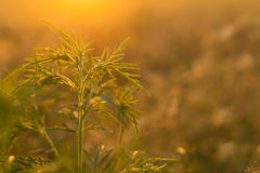 Wild grass in the meadow. On sunset Royalty Free Stock Photo