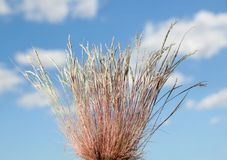 Wild grass over cloudscape. Close-up of dry wild grass tussock over blue cloudy sky background at summer Stock Image