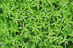 Wild grass pattern. Wild grass Chenopodium album foliage, background wallpaper royalty free stock image