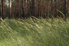 Wild grass in a pine forest. Many tall, slender pine trees in th Stock Images