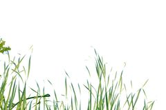 Wild grass plant growing in a garden on white isolated background. For green foliage backdrop royalty free stock photo